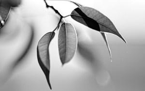 Серые листья